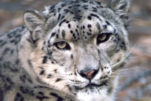 The usage of OS X Snow Leopard continues to decline.